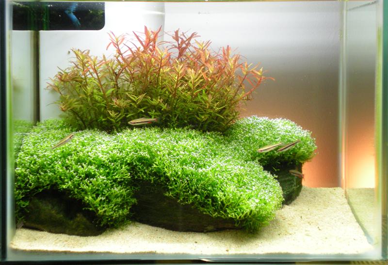 Riccia Fluitans The Fancy Flora