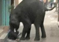 noticias curiosas dos elefantes escapan mysore india