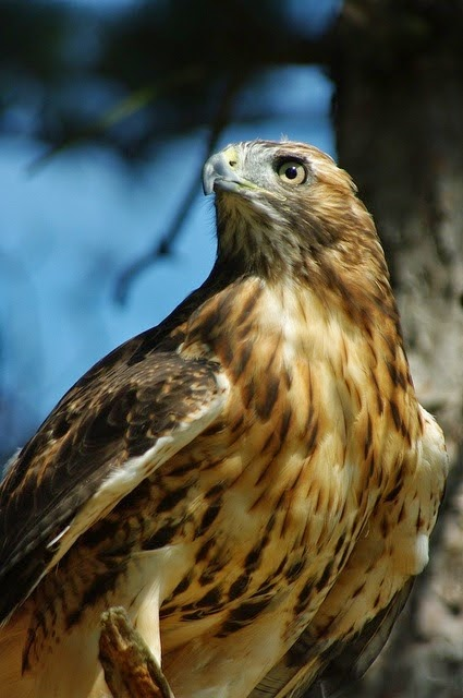Wiccan Moonsong The Red Tailed Hawk As Your Totem