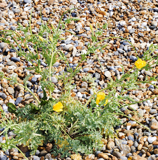Yellow Horned Poppy, Glaucium flavum.   Sandwich Bay, 4 July 2015.