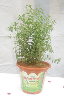 Fresh Stevia Plant