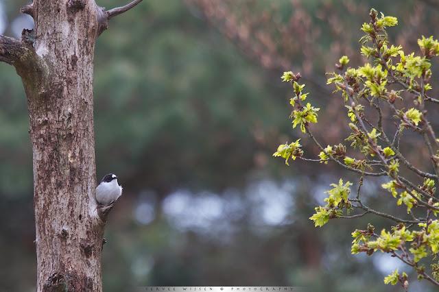 Bonte Vliegenvanger - Pied Flycatcher - Ficedula hypoleuca