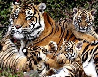 foto harimau sumatera