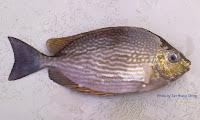 Streaked Spinefoot, Java   Rabbitfish