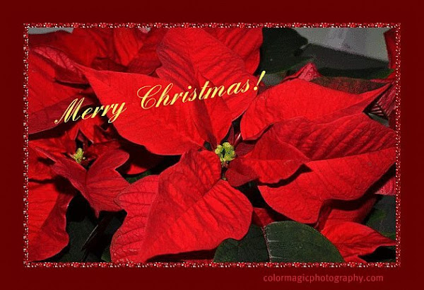 Christmas card-poinsettia
