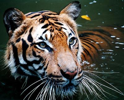 Foto harimau Malaya