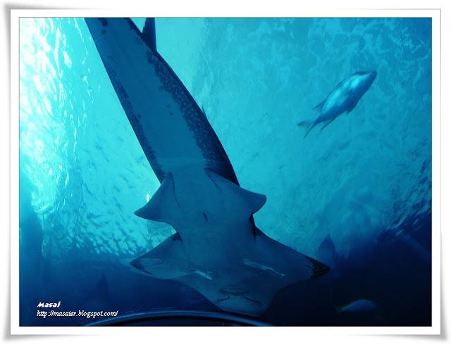 澎湖水族館-海底隧道-鯊魚