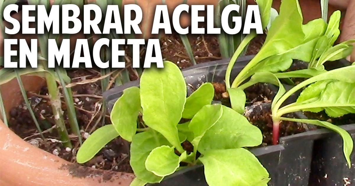 Como plantar y cultivar acelga en maceta - Plantar en maceta ...