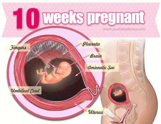 gravid uge 10
