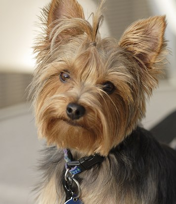 PETS HOME: want to adopt a yorkie?