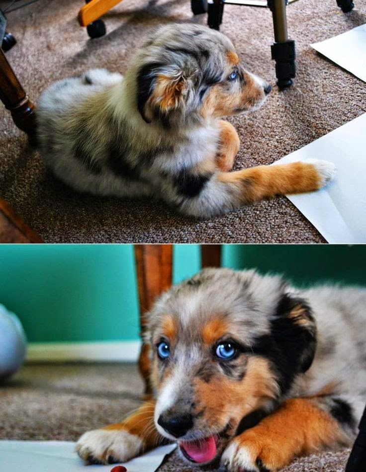Australian Shepherd Puppy! I hope our puppy looks like this! So adorable!