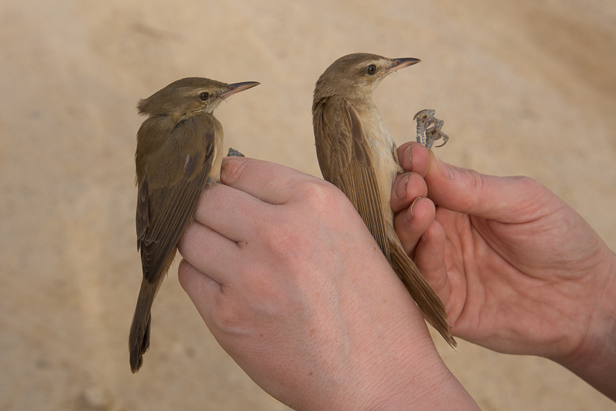 Indian Reed Warbler (left) & Great Reed Warbler (right)