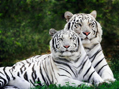White Tiger Wallpapers   2013 Wallpapers