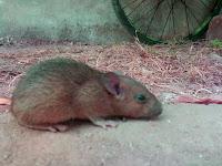 fasting mouse ramadan
