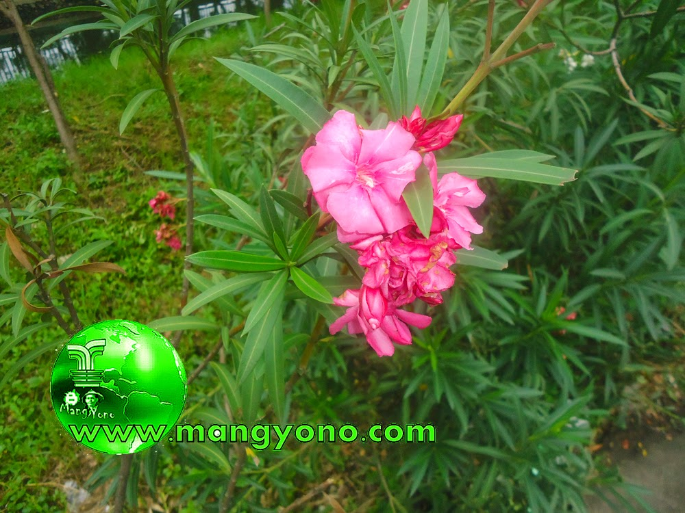 Bunga Oleander itu ada yang bunganya berwarna merah jambu, putih atau kuning.