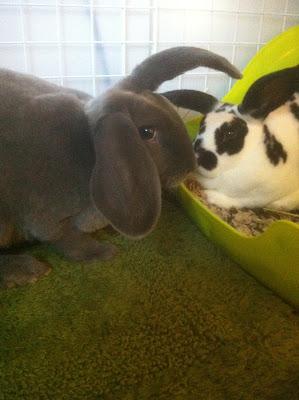 baby rex bunnies