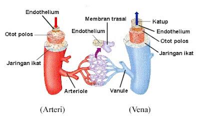 pembuluh arteri dan vena