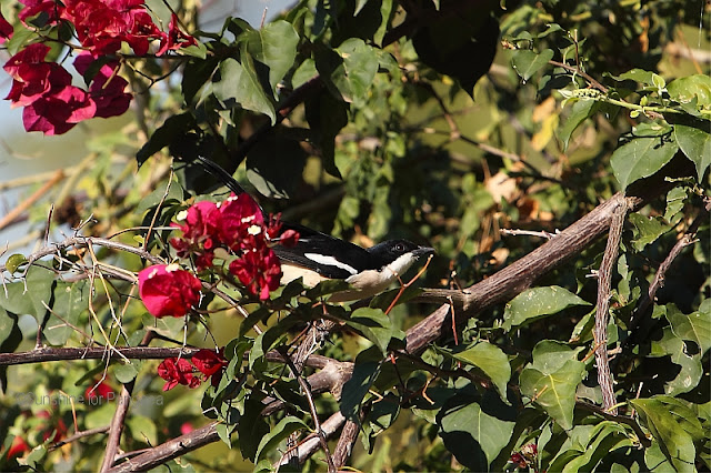 tropical boubou or bell shrike (Laniarius aethiopicus)