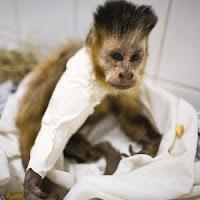 Macaco-prego Neymar recebeu placa na fratura do braço direito