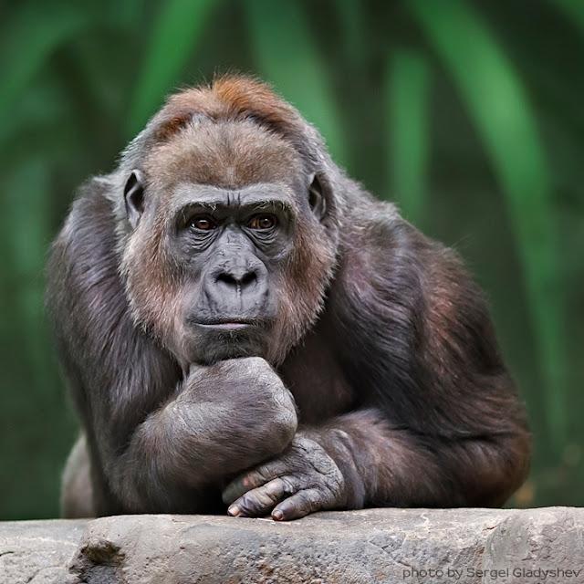 Gorilla Grubleren - Gorilla 'a la Rodin' (the Thinker) by Sergei Gladyshev