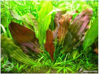 gambar-Echinodorus-Sp-Red-Special-tanaman-aquascape-rosette