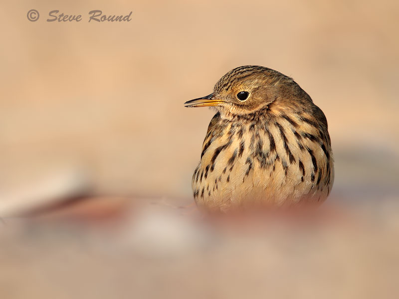 meadow pipit, bird, nature wildlife