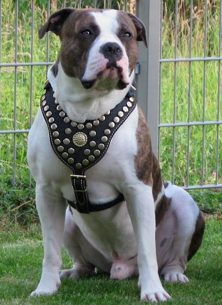 22++ Anjing pitbull indonesia terupdate