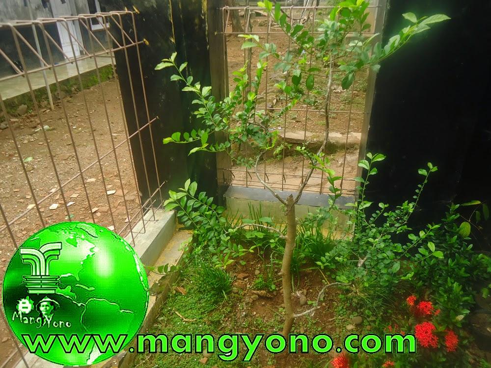 Pohon Serut sebelum pemangkasan