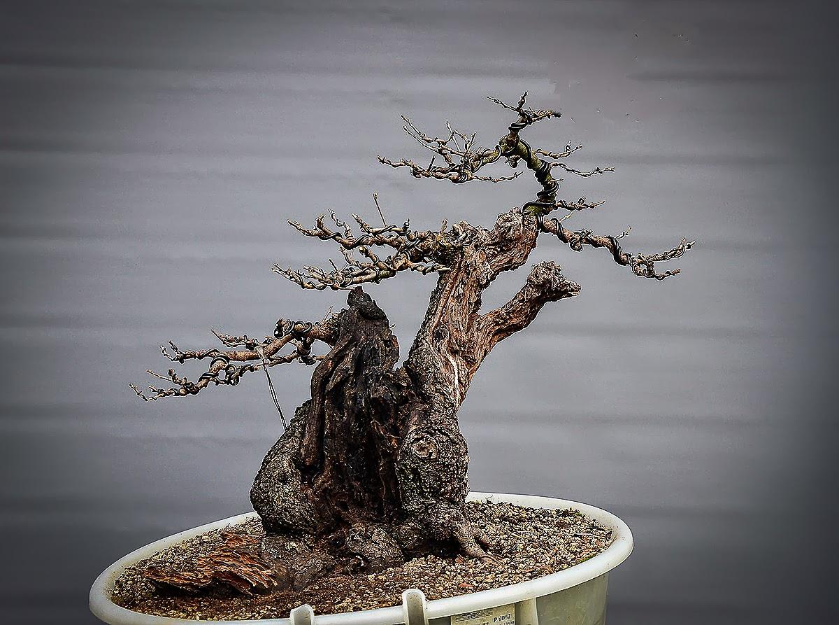 Bonsai Living Art Prunus Mahaleb Progress