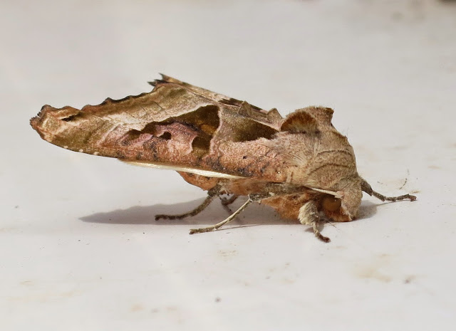 Angle Shades Moth - Phlogophora Meticulosa - sideways view showing how it looks like a crumpled leaf - large eye showing.