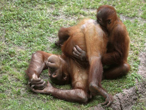 Funny Funny Pictures: Funny collection of Funny Gorillas