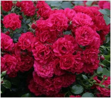 breuillet nature des rosiers jamais malades. Black Bedroom Furniture Sets. Home Design Ideas