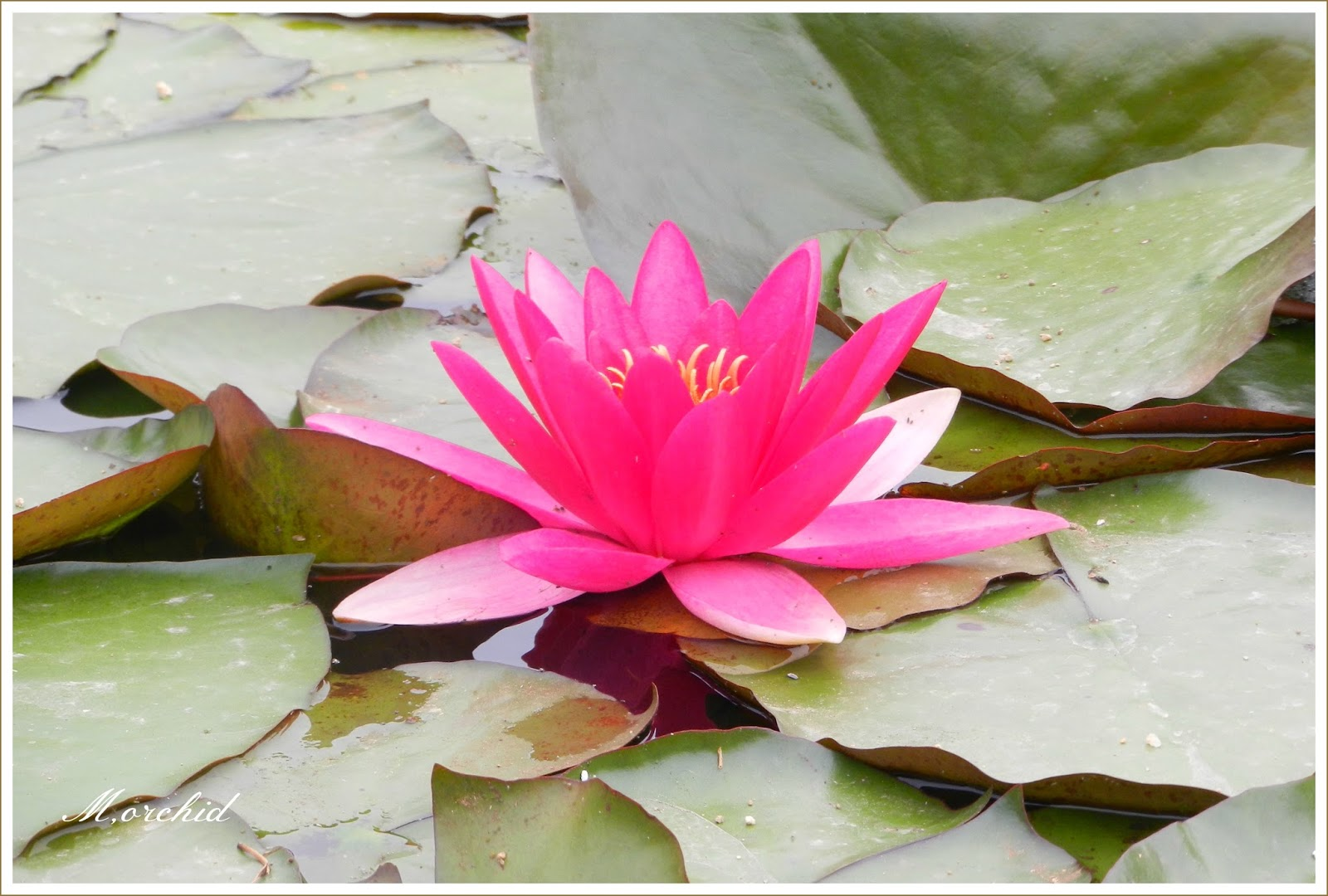 Orchids Daily Voice Home Page Water Lilies And Seasonal Decoration