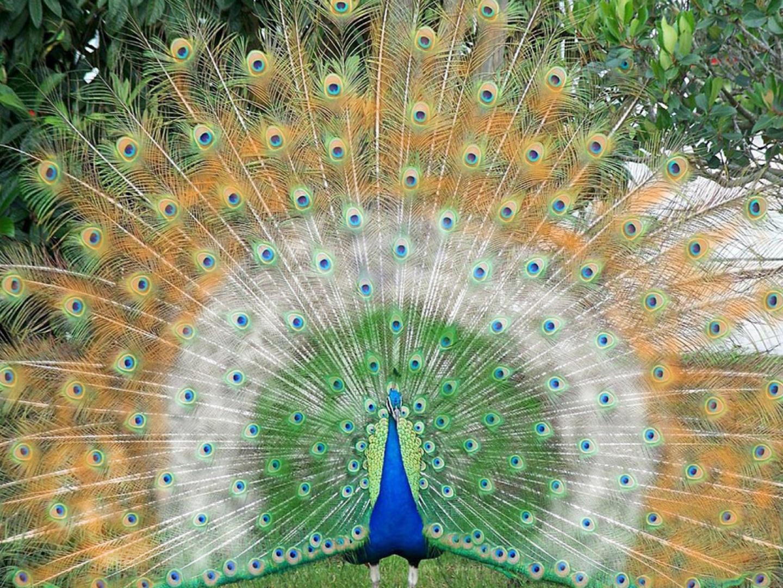 Im genes de p jaros pavos reales - Fotos de un pavo real ...