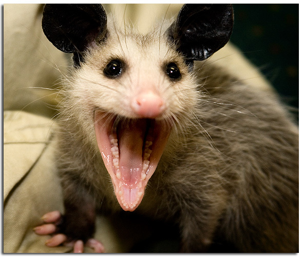 Smiling Possum Possum11.jpg