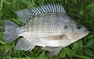 Cara Memancing Ikan Nila Dengan Menggunakan Umpan Jitu