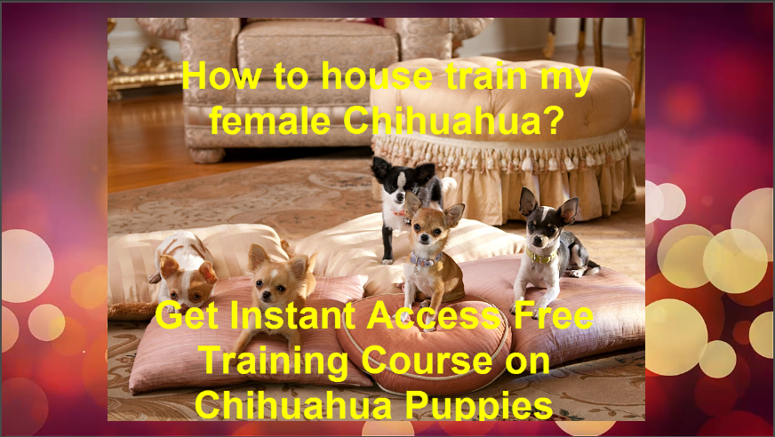 How to house train my female Chihuahua? Free Training on Chihuahua Puppies