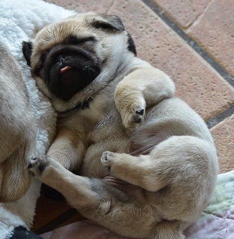 I really like pugs.