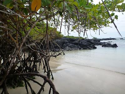 Rhizophora mangle - Red Mangrove, Galapagos