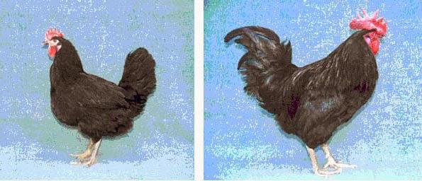 Полтавская черная порода кур
