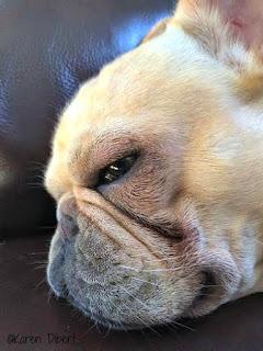 cream french bulldog sleeping close up head