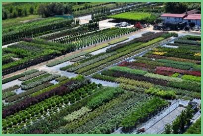 Piante e fiori tecniche colturali per gli arbusti da siepe for Piante vendita