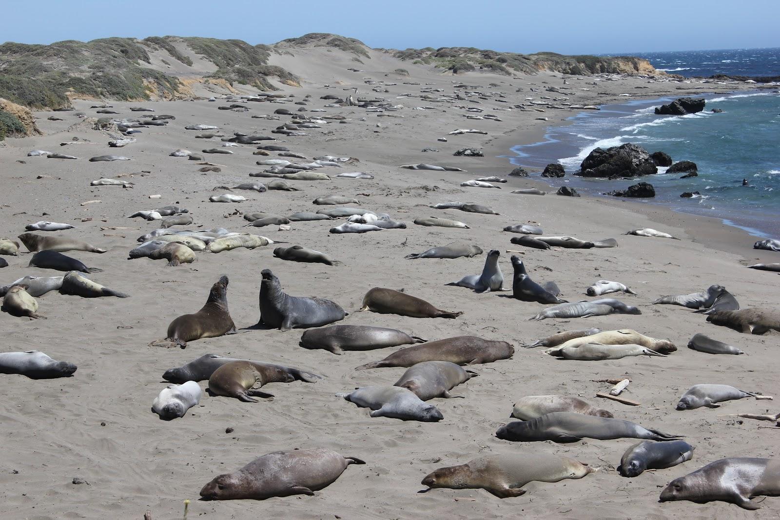 life in the sunny spot elephant seal beach hearst castle