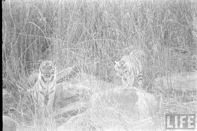 Tiger+Hunting+Photographs+of+India+-+1965+%252825%2529