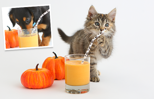 A cat and dog drinking pumpkin smoothies