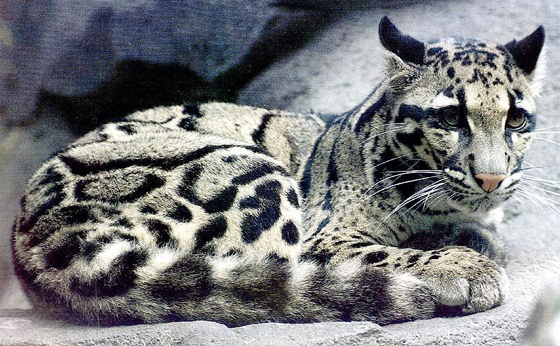 Without Hope  Bigcat41-CloudedLeopard-OnRock