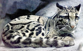 Clouded Leopards  WWF