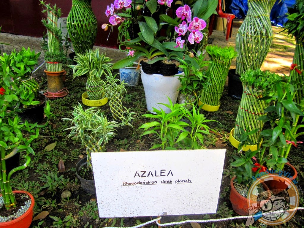Azalea - Taman pustaka bunga kandaga puspa