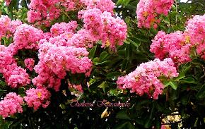 Χρώματα του χωριού μου: Ασύστολο ροζ