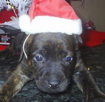 The German Shepherd: German Shepherd Pitbull Mix Puppies